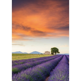 Field of lavender, Provence